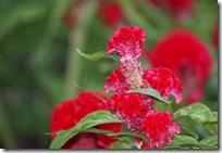 หงอนไก่? สีแดงสด สวยดีครับ