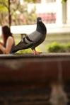 นกพิราบในวัดระฆัง เจ้านี่เชื่องคนมากขนาดขยับเข้าใกล้เพื่อจะถ่ายรูป มันยังไม่บินหนีเลย